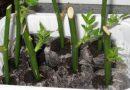 Kaip išauginti rožę iš koto savo namuose