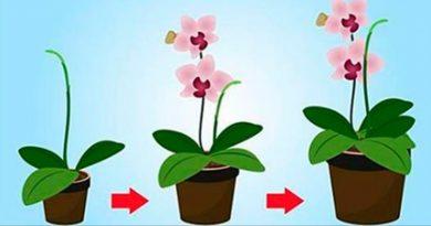 7 taisyklės, kad orchidėja žydėtų visus metus