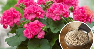 Paprastos mielės įtakoja audringą augalų žydėjimą. Dabar visada naudosiu tokias trąšas