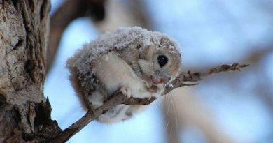 10 įrodymų, kad voverė skraiduolė – mieliausias žvėrelis pasaulyje
