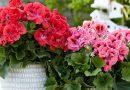 5 močiutės patarimai apie gėles