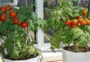 Skaniausi pomidorai ištisus metus, kuriuos sugebės išauginti kiekvienas