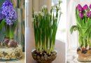 Paprastas būdas, kaip užauginti tulpes ir narcizus vazoje be dirvos