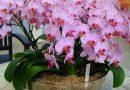 Persodinu orchidėjas tiesiog žydėjimo metu, tai nebaisu, nuo to augalai toliau žydi net intensyviau nei anksčiau