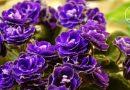 Ši gėlė pritraukia meilę: ar turite ją namuose?