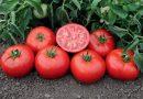 6 nenuginčijamos priežastys, kodėl pomidorus reikia valgyti kiekvieną dieną. Apie tai jūs tikrai nežinojote!