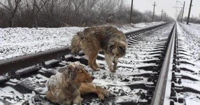 Šuo dvi dienas savo kūnu dengė sužeistą draugę ant bėgių!