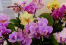 Kaip prižiūrėti orchidėją tik įsigijus