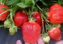 Keturių lysvių taisyklė braškių dauginimui ir geram derliui